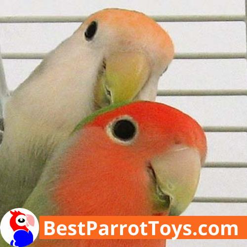 Parrots as pets - traits and specifics