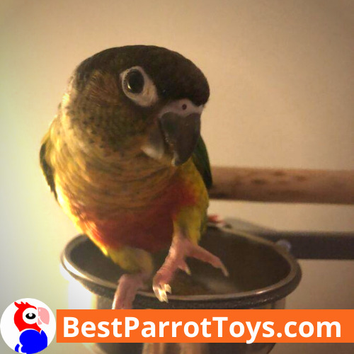 ELVIS THE GREEN CHEEK CONURE IS HOME FOR OVER A MONTH!