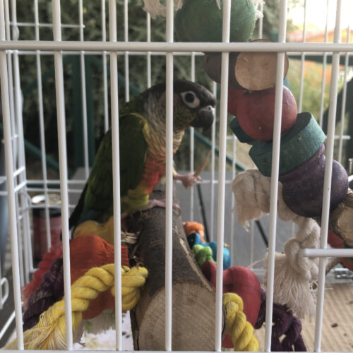 Parrot in Travel Cage on Vacation