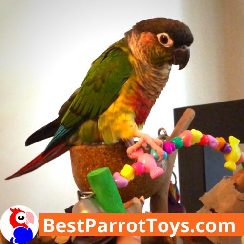 Are Green Cheek Conures Loud