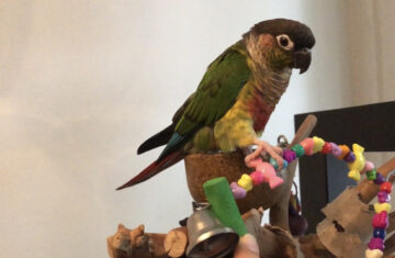 Fun Parakeet Swing