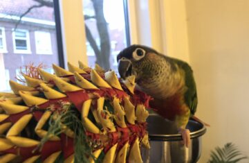 Parrot Playing with his Pineapple Toy