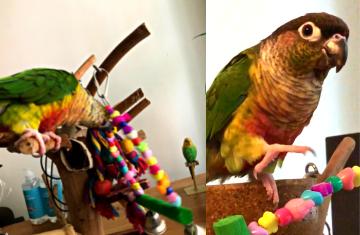 Parakeet playing with Swing